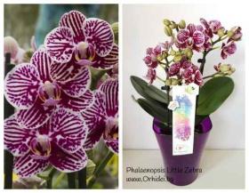 Спечели подарък орхидея
